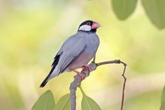 Птицы oryzivora Lonchura зяблика Ява воробья Ява Таиланда Стоковые Изображения