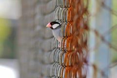 Птицы oryzivora Lonchura зяблика Ява воробья Ява Таиланда Стоковое фото RF
