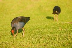 Птицы Pukeko ища для еды Стоковое Изображение