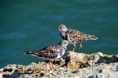 Птицы Ruddy Turnstone Стоковые Фотографии RF