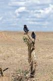 Птицы, Serengeti Стоковая Фотография