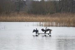 2 птицы shag баклана на озере logon распространяя их крыла Стоковое Изображение RF