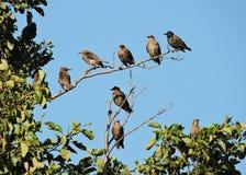 Птицы Starling на ветвях дерева Стоковая Фотография