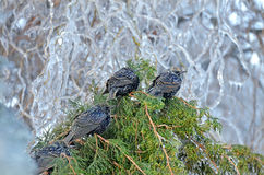 Птицы Starling Стоковые Изображения RF