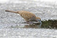 Птицы striata Geopelia голубя зебры есть воду Стоковая Фотография