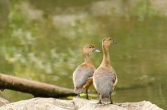 Птицы Teal Стоковая Фотография RF