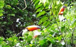 Птицы Tucans на ветви дерева Стоковые Фотографии RF