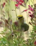Птицы Verdin в Аризоне Стоковые Изображения