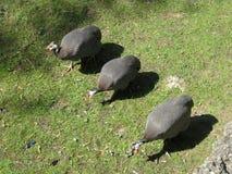 птиц angoras Знание природы Через глаза природы стоковое фото