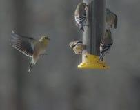 Птичий Пегас--Американский Goldfinch в Средний-полете Стоковые Фотографии RF