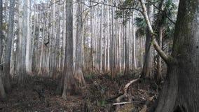 Пугающее болото Cypress стоковое фото rf