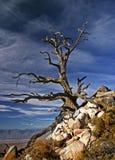 Пугающее старое дерево Стоковое Изображение