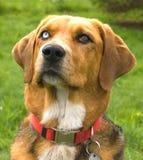 пугающее eyed собакой Стоковое Фото
