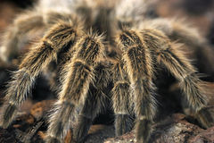 Пугающий гигантский тарантул Стоковые Изображения