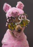пудель свиньи жадности Стоковая Фотография RF