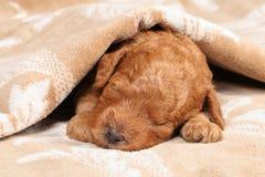 пуделя щенка неделя сна во-вторых стоковая фотография