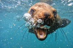 Пузыри морского котика накидки подводные дуя стоковое изображение rf