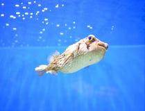 Пузыри Blowfish отравы дуя под водой стоковая фотография