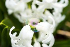 Пузырь сбалансировал чувствительно между 2 белыми цветками отражая стоковое фото rf