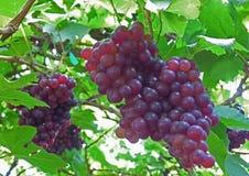 2 пука виноградин фиолетового цвета зрелых на своем дереве Стоковые Фото