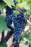 2 пука зрелых голубых круглых виноградин на лозе Стоковые Изображения RF