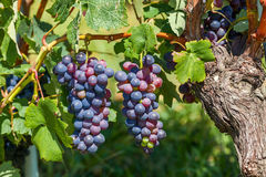 2 пука зрелых виноградин Стоковое Фото