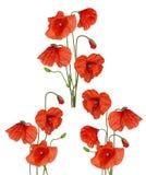 3 пука красного мака цветут собрание Стоковое фото RF