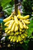 Пуки бананов, кучи банана Стоковые Изображения