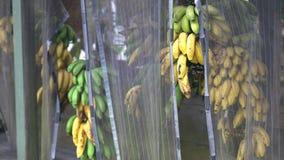 Пуки бананов на стойке обочины на дороге к Гане сток-видео