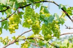 Пуки белых виноградин стоковые изображения rf