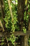 Пуки виноградины стоковые фото