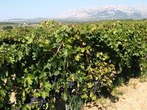 Пуки виноградин вина стоковое фото rf