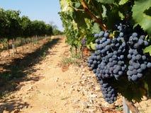 Пуки виноградин вина стоковая фотография rf