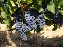 Пуки виноградин вина стоковые фото