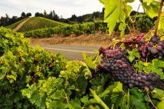 Пуки виноградин вина растя в винограднике Стоковое фото RF