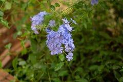 Пуки голубых крошечных лепестков leadwort накидки зацветая на листьях растительности и расплывчатой предпосылке, знают как белые  стоковое фото