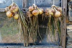 Пуки желтых луков вися и суша вне деревенского выигрыша Стоковое Фото