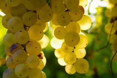 Пуки зеленых виноградин, в рассеянном свете. Стоковая Фотография