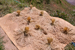 Пуки зрелого засыхания риса стоковые фотографии rf