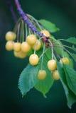 Пуки зрелых желтых вишен висят на ветви в саде Стоковые Фотографии RF