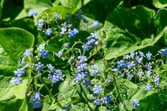 Пуки красивых голубых цветков среди зеленой листвы в расчистке в древесинах Стоковая Фотография