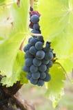 Пуки красных виноградин на лозе Стоковые Изображения RF