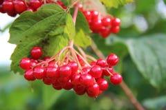Пуки красных ягод калины на ветви, зрея в поздним летом Стоковая Фотография