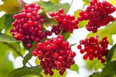 Пуки красных ягод калины на ветви в поздним летом Стоковая Фотография