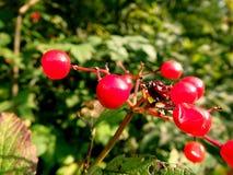 Пуки красных ягод калины на ветви, Стоковая Фотография