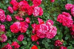 Пуки полного цветения обилия свежие красивой красной розы цветут с зеленой предпосылкой сада разрешения на дождливый день, селект Стоковые Фото