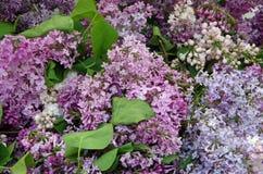 Пуки сирени весны Стоковые Фотографии RF