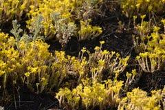 Пуки цвести цветков очитка goldmoss покрывая землю стоковая фотография