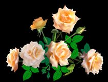 6 пуков роз светлой сливк на черноте Стоковые Фотографии RF