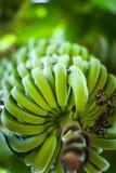 Пук банана в зеленом заводе банана Стоковое Изображение